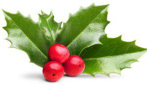 Christmas holly berry leaves decoration isolated on a white background.