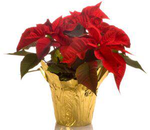 Poinsettia plant in a pot. Isolated on white with reflection